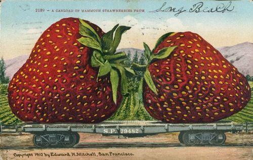 Tall tale postcard strawberry