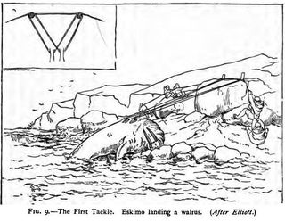 The first tackle eskimo landing a walrus