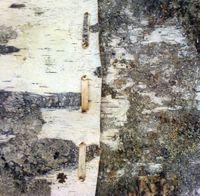 Birch bark piece