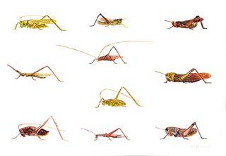 Crickets 2