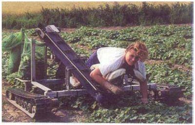 Augurk oogsten