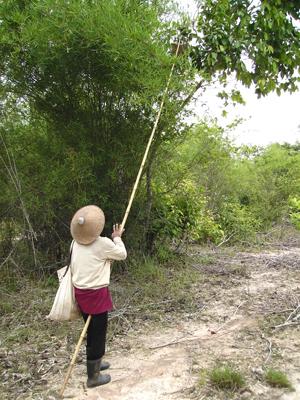 Oogsten van insecten in laos bron fao