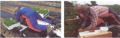 Planten en oogsten van aardbeien vanaf een ligbed