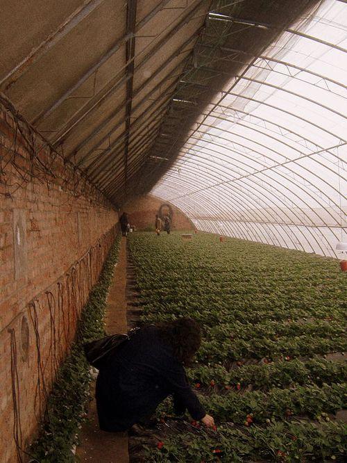 Aardbeien in tuinbouwkas