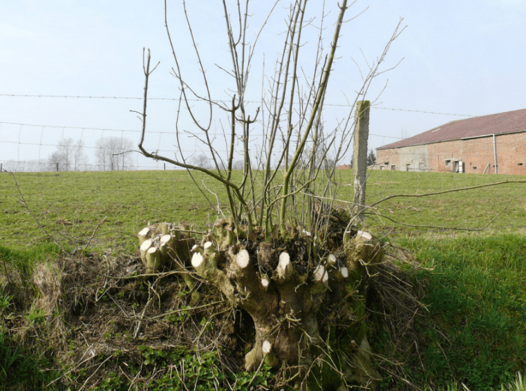 Coppice-stool-min