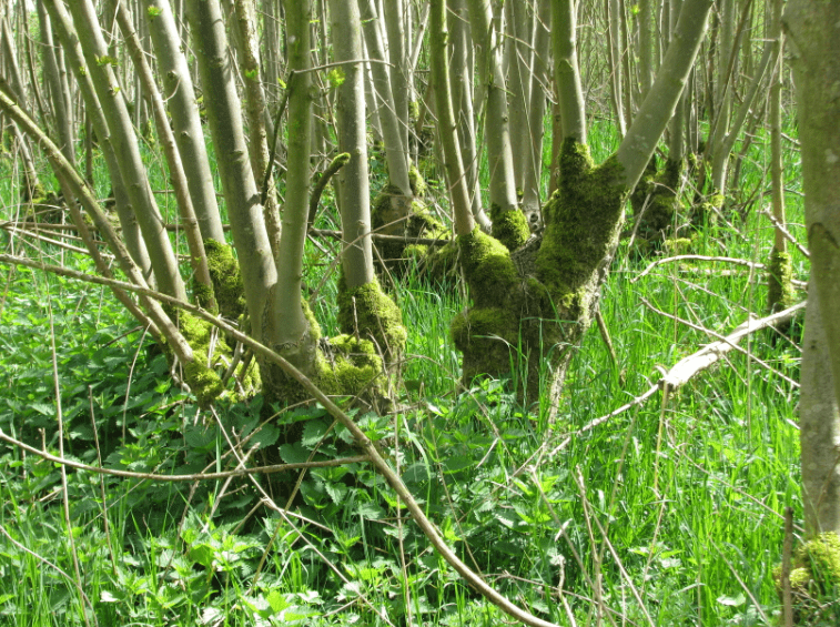 Dutch-coppice-min