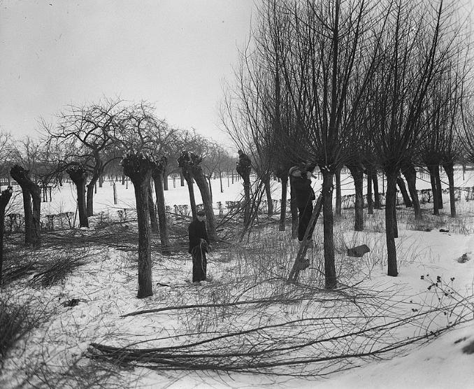 Pollarding-1940s-min