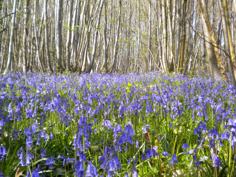 Flexham_coppice_bluebells