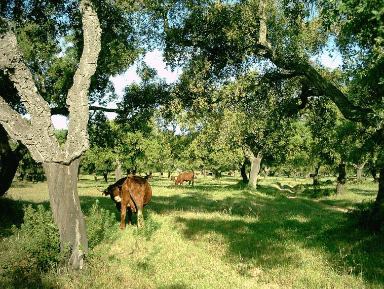 Cows-huelva-min